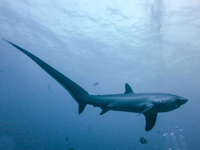 threshershark